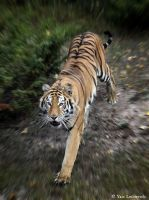 tiger on the move by Yair-Leibovich
