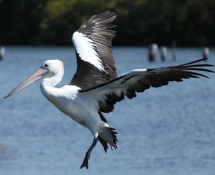 Flying Pelican by Shelley-May