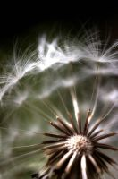Mountain Dandelion by James-T-Anthony