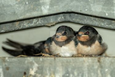 swallows by Perseus67
