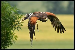 Bird of prey in flight by jimbomp44