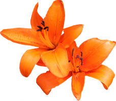 Orange Lilly 02 by Thy-Darkest-Hour