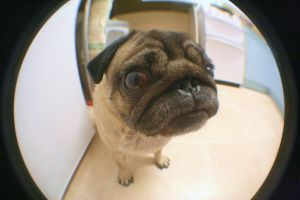 Puggy - Fish eye by tardia