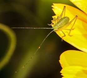 baby speckled bush cricket 2 by Vitaloverdose