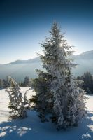 Sapins by rdalpes