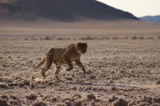 Cheetah run 5 by DoWnHIller