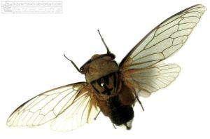 cicada insect 2 by kayne-stock
