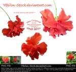 Red Hibiscus by YBsilon-Stock by YBsilon-Stock
