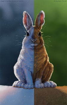 ODNR: Snowshoe Hare by Rowkey