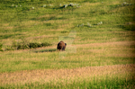 Badlands Bison (Ignoring You) by RedOctoberRising