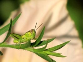 a close up of a grasshopper by DisneyPrincessNeeNee