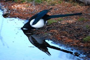 Magpie by MikeMc001