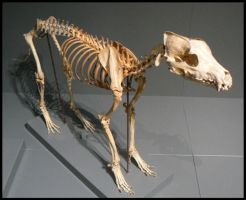 Wolf skeleton by neonspider