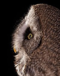 Great Grey Owl by DeingeL