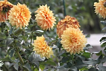 Last dahlias of fall 2 by Ben-Kennett