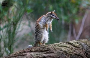 Numbat 2 by Mkatpro11