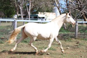 HH Lusitano trot side view by Chunga-Stock
