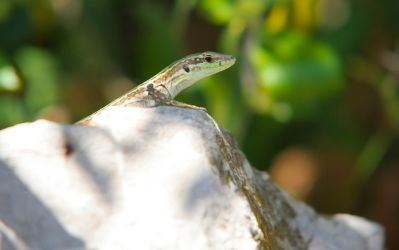 Lizard from Sicily by AngeloMichel