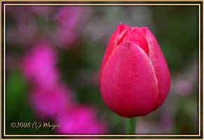 One Pink Tulip by e-CJ