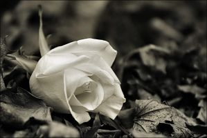 MY Rose by AstralWind