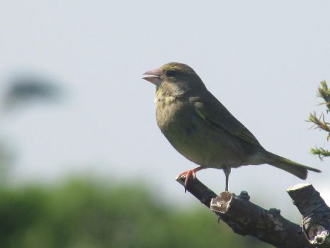 Singing greenfinch by Sia-the-Mawile