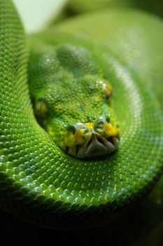 Emerald Tree Boa by daughterdragon