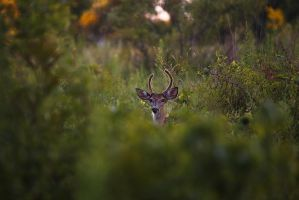 Deer by BlackRoomPhoto