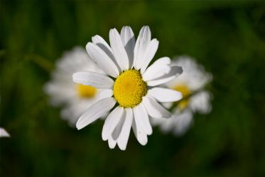 DogWalking - Daisy by chalkwebdesign