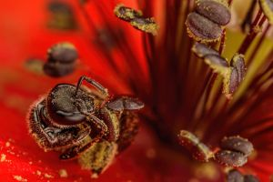 Sweat Nee Gathering Poppy Pollen by dalantech