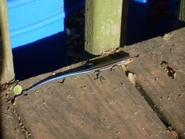 Blue-Tailed Skink 3 by EmeraldTokyo