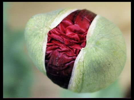 Papaver in knop II by 44Vevina44