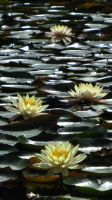 Waterlily...12 by tamaseraph
