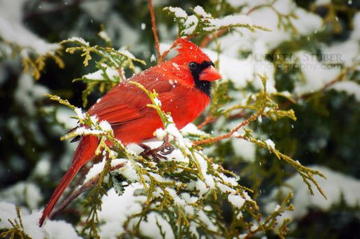 Winter Cardinal by jenniferstuber
