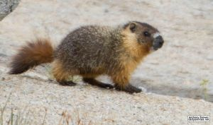 Baby marmot steps out by jaffa-tamarin
