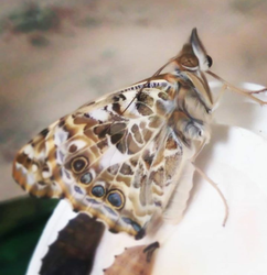 Painted lady3 by Slow-Chemical-Design