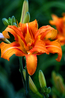 Tiger Lily by Massano