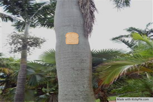 Bread Stapled to a palm tree by KickyPie