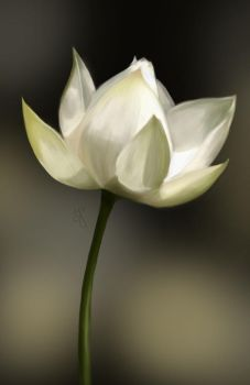 White Lotus - SP21 by aunjuli