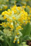 Cowslip by S4MMY4RT