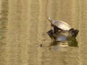 Turtle on a log by GhostmasterJay