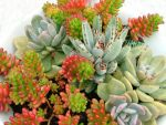 Succulent_I by GoblinStock