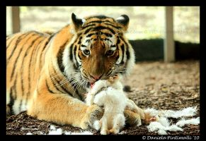 Tiger Fluff by TVD-Photography