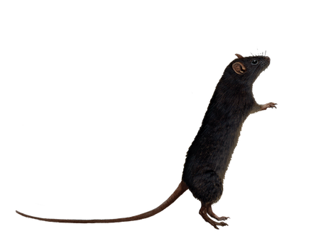 Png Rat 6 by Moonglowlilly