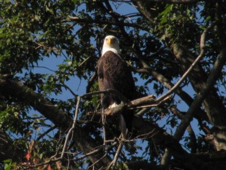 Bald Eagle Spotting 1 by InkkyFikky