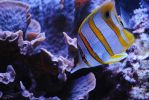 Butterfly fish by ABDCrochet