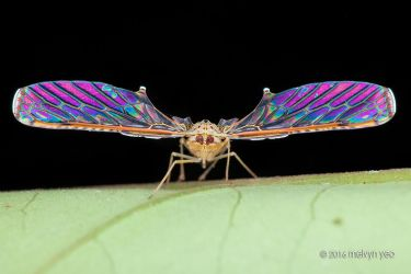 Derbidae with iridescence wings by melvynyeo