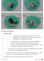Chinchillas by TheFunnyAmerican