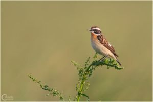 Whinchat by ClaudeG