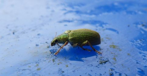 Green Weevil by setanta5
