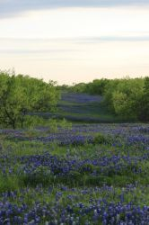 Bluebonnet Fields Forever by wanderingmage